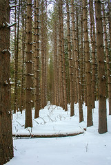 Passage (ETt_) Tags: trees forest winter snow white brown pins pintrees stump path passage nature