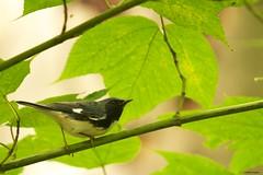 BTBW (S. J. Coates) Tags: presquileprovincialpark ontarioprovincialpark ontario parks lakeontario l songbird warbler blackthroated blue