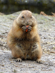 Prairiedog. (Cajaflez) Tags: rotterdam blijdorp zoo prairiedog coth coth5