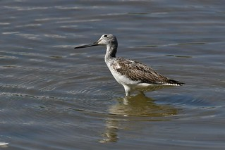 Chevalier aboyeur - Tringa nebularia - Common greenshank