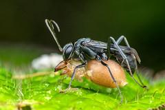 Spider wasp (Pompilidae) - DSC_2527 (nickybay) Tags: africa macro andasibe mitsinjo spider wasp prey cheiracanthium pompilidae madagascar black