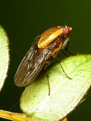 Heleomyzid Fly (treegrow) Tags: newzealand nature lifeonearth raynoxdcr250 arthropoda insect diptera fly heleomyzidae allophylopsisscutellata taxonomy:binomial=allophylopsisscutellata