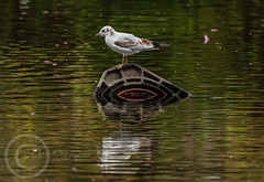 Birds on Sunday Sept 2nd 2018 138 - Perched on a submerged traffic cone (Mark Schofield @ JB Schofield) Tags: pennine way south pennines peak national park trust hills moors vallies valley reservoir water peat moorland bog moss agriculture yorkshire huddersfield wessenden head pule buckstones scammonden royd edge marsden meltham digley holme march haigh west nab deer lapwing curlew hare bird wildlife oyster catcher chick young short eared owl hunting little duck mallard grouse kestrel red grey wagtail flight fly moorhen buzzard heron dipper geese canada goose great tit blue