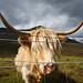 Skye Cow