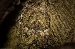 Tamba conscripta (dustaway) Tags: australia insecta lepidoptera noctuoidea erebidae catocalinae tambaconscripta barkmoth crypsis camouflage australianmoths australianinsects tamborinemountain mounttamborine sequeensland queensland nature