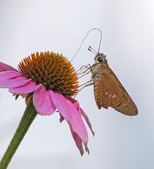 Brazilian skipper - 2nd to arrive (Calpodes ethlius) (Vicki's Nature) Tags: brazilianskipper butterfly tan spots yard georgia vickisnature canon s5 0001 coneflower pink september rare returnnc
