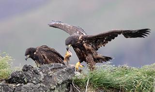 White-tailed Eagle (Haförn) 223
