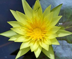yellow day lilly (Steve4343) Tags: steve4343 nikon d70s trail national forest red green blue yellow orange white clouds sky beautiful autumn beauty county lake cloud colorful woods garden gardens happy leaves rocks wildlife landscape mountain tree trees grass water wood summer spring macro flower flowers black northern thailand daylilly lilly day