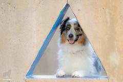 (33/52) 180° of Jasper (Jasper's Human) Tags: aussie australianshepherd 52weeksfordogs triangle playground