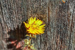 Against the wooden gate (LUMEN SCRIPT) Tags: shortdepthoffield dof shadow light macro closeup details contrast colours weatheredwood wood yellow nature plant flower textures close perspective artistic