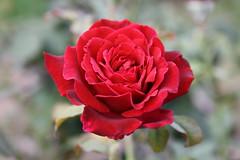 IMG_2093   -   Una rosa rossa !!! (SPARTANO 2010 - now it's autumn !!!!) Tags: rosa rosso petali giugno calabria