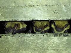 big brown bats- Ventura River-Ventura (gskipperii) Tags: bat bats mammal mammals first excited dayroost bridge crevice southerncalifornia nature wildlife tiny squeak huddle outdoors urbanwildlife myotis