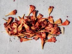 1 Gathered Blossoms (Robert Cowlishaw (Mertonian)) Tags: backyardphotolab bypl texture downlooking concrete cement canonpowershotg1xmarkiii markiii g1x powershot canon robertcowlishaw dust2dust redblossoms mertonian