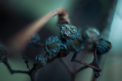 Dried grapes (Austinbad) Tags: winter wine grape dried detail tone mystic outdoor light bushes bokeh contrast mood cold coldtone holiday photo picture canon fade shadow deep despair focus grapes sharp lost clear macro bright blue memories