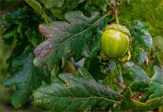 An acorn on an oak tree grew ...