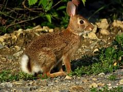Another local bunny (2653) (lnmp_ny) Tags: rabbit mammals bunny bunnies rabbits
