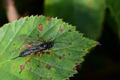Black slip wasp  Pimpla rufipes Holme NOA Norfolk (JohnMannPhoto) Tags: black slip wasp pimpla rufipes holme noa norfolk