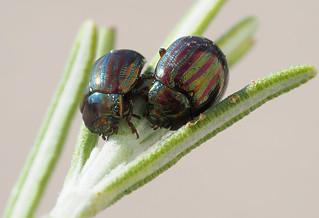 P9060024 Rosemary leaf beetles