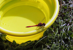 Ruddy Darter (Mama_Kin) Tags: dragonfly dragonflies damselfly damselflies odonata zygoptera