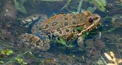 marsh frog (female) - Primorski, Bulgaria (Russell Scott Images) Tags: primorski primorsko blacksea bulgaria marshfrogpelophylaxridibundus amphibian