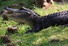 American alligator (Alligator mississippiensis (im2fast4u2c) Tags: american alligator mississippiensis sheldonlakestatepark animal wildlife gatororcommonalligator isalargecrocodilianreptile apex predators alligatoridae genus