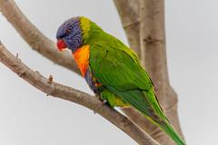 Rainbow Lorikeet (Merrillie) Tags: southcoast batehaven colours wildlife lorikeet rainbowlorikeet batemansbay australia birds colors animals fauna parrot bird animal