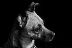 Animal Portraits - Scout #2 (KWPashuk) Tags: nikon d7200 tamron tamron18400mm lightroom luminar luminar2018 kwpashuk kevinpashuk scout dog portrait animal monochrome