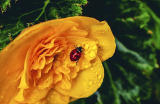 Ladybug and drops ...