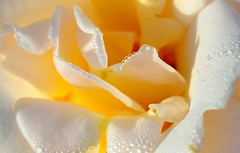 Morning dew (alex.vangroningen) Tags: rose white color wet dew yellow cropped outdoors handheld