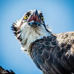 Something to Shout About (philbeckman56) Tags: california osprey nature wildlife bird raptor birdofprey