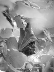 grey-headed flying fox - 0080 (liam.jon_d) Tags: iucn iucnredlist pteropuspoliocephalus mono adelaide adelaidecity animalportrait arty australia australian bw bat billdoyle blackandwhite environment environs flyingfox fruitbat greyheaded greyheadedflyingfox hang hanging internationalunionfortheconservationofnature lake monochrome parklands portrait pteropus rivertorrens sa southaustralia southaustralian status threatenedspecies threatenedspecieslist torrens vulnerable