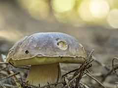 2018-09-18 16-08-30 (C) (turbok) Tags: gemeinersteinpilz boletusedulis pflanze pilze wildpflanzen