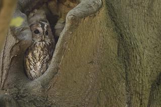 Bosuil - Tawny Owl
