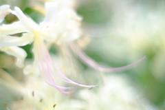 DSCF0945 (Keishi Etoh rough-and-ready photoglaph) Tags: flower mf manualfocuslens primelens fixedfocallengthlens oldlens 単焦点 中望遠 fujifilm xt1 fujifilmxt1 apsc mcrokkorpf58mmf14 minolta rokkor 87mm