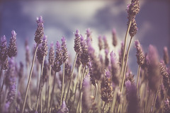 Lavender (RollingSwell) Tags: pollinate sweet soft purple bokeh busy bee lavender flower
