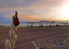 Arran Sunset with Ladybird1 (g crawford) Tags: ayrshire northayrshirecrawford portencross westkilbride insect ladybird ladybug beetle macro arran sunset sundown pink red field fields sky crawford clyde riverclyde firthofclyde