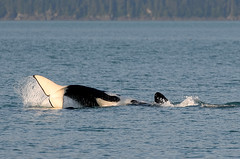 Roll and Dive (Anthony Mark Images) Tags: water sea ocean orcas killerwhales marineanimals playful rolling divng forest shoreline tail fin splashing juneau whalewatching alaska usa 49thstate nikon d850
