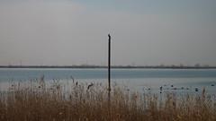 P1090776.JPG (papaniko) Tags: καλοχώρι λιμνοθάλασσα πουλιά