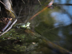 (Robin.guillaud) Tags: rivière river grenouille frog