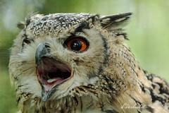 Indian Eagle-Owl (K.Verhulst) Tags: indianeagleowl bengaalseoehoe oehoe eagleowl owl uil vogels birds blijdorp diergaardeblijdorp rotterdam