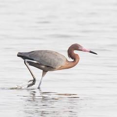 Reddish Egret (jklewis4) Tags: bunchebeach egrettarufescens florida fortmyers ftmyers reddishegret bird birds grey nature wadingbird