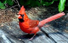 DSC_0392 (RachidH) Tags: birds oiseaux snow cardinal redbird northerncardinal cardinaliscardinalis cardinalrouge sparta nj rachidh nature