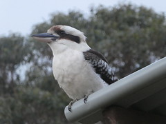 Laughing Kookaburra (Diepflingerbahn) Tags: kookaburra dacelonovaeguineae huskisson jervisbay nsw