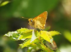 2018_06_0797 (petermit2) Tags: smallskipperbutterfly smallskipper butterfly idlevalley idle retford nottinghamshire nottinghamshirewildlifetrust nwt wildlifetrust wildlifetrusts