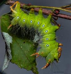 Eacles imperialis-Imperial Moth Caterpillar (AnthonyVanSchoor) Tags: nature nikon nikond7100 tamron wildlife 2018 anthonyvanschoor macro maryland usa eacles imperialisimperial moth caterpillar howardcountymd marylandbiodiversityproject mothing