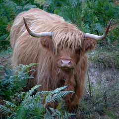 Highland Cow imported in Limousin! (Dan Guimberteau) Tags: animal cow horns dxo photolab lightroom limousin correze cattle highland scotland
