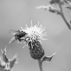Mouche. (steph20_2) Tags: panasonic gh4 m43 sp90 52bb tamron lumix monochrome monochrom macro closeup mouche fly insecte insect noir noiretblanc ngc blanc black bw white skanchelli