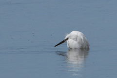 Little Egret Cley NWT Norfolk 1 (JohnMannPhoto) Tags: little egret cley nwt norfolk