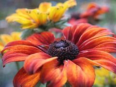 Amazing Autumn ... 😍😍 (☜✿☞ Bo ☜✿☞) Tags: rudbeckiasummerinaorange echinaceasummerinaorange coneflowersummerinaorange flower plant garden fleur flora fauna dof outdoor outside yard backyard flowers blur canong16 powershot macro bokeh closeup summer vacation day summer2018 august september floral natur home nature bright england britain uk europe european me depthoffield camera natural country 7dwf national smile fun naturephotography new plants morning view pretty style sunshine naturaleza colourful pov auto ciel fall copper brown yellow colour white colours contrast flickr leaf countryside sunny leaves texture town village