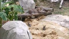Simara et ses bébés (Raymonde Contensous) Tags: parczoologiquedeparis zoodevincennes pzp jaguars félins félidés animaux nature simara lenca